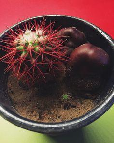 Малыш из брелочка обрел свободу спустя 2 года! Пока он слишком мал, поэтому свой дом ему ни к чему и он поживет пока у старшего брата☺️ кактусики и каштаны  cactus  close up photo  chestnut  my plants