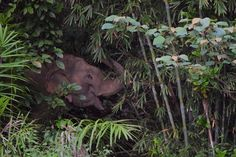 Cute wild elephant sneaking through the jungle in Khao Sok. Photo by John Williams (no relation) Khao Sok National Park, National Parks, Thailand Adventure, Wild Elephant, Small Groups, Elephants, Trekking, Kayaking, Tours