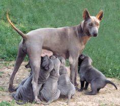 Thai Ridgeback Dog Thai Ridgeback, Rare Dogs, Rhodesian Ridgeback, Dog Items, Wolf, Mammals, Animals And Pets, Best Dogs, Fur Babies