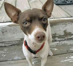 teacup rat terrier 1000 images about miniature rat terriers on pinterest 7142
