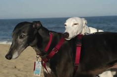 Greyhounds commonly rest their heads on other greyhounds, its so cute