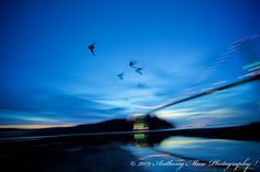 Canada geese flying near the Lions Gate Bridge in Vancouver, Canada at dusk. Lions Gate, Canada Goose, Dusk, Vancouver, Bridge, Mountains, Nature, Travel, Voyage