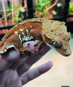 red and cream Dalmatian crested gecko. Seen one of these today there even kooler in person Cute Reptiles, Reptiles And Amphibians, Mammals, Geckos, Crested Gecko Habitat, Gecko Terrarium, Bearded Dragon Funny, Baby Animals, Cute Animals