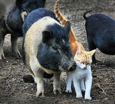 *A cat that lives in a farm in Pennsylvania has been a frequent visitor to the pig pen. There are many pigs in the enclosure, but kitty knows there is one buddy he wants to hang out with. According to Toshio Kishiyama, the two seem to spend a lot of time together as if they are the best of friends.