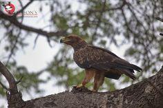 Tawny Eagle scavenging on a Leopard kill, 23 November, Kruger National Park, Bald Eagle, Safari
