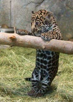 baby Leopard Amazing World beautiful amazing
