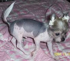 Image result for crested schnauzer