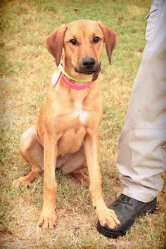 Maddy - URGENT - City of Corsicana Animal Shelter, Corsicana, Texas - ADOPT OR FOSTER - 5 MONTH OLD Female Boxer/Hound Mix