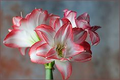 Amaryllis Blossom Peacock  2426cm Bulb * You can find out more details at the link of the image.