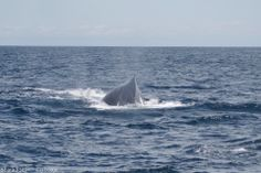 Whale off the coast of Isla Parida, Panama  #islaparida