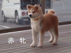 애기 아키타견~ baby Japanese Akita-Inu.