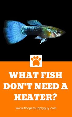 Fish That Don't Need a Heater (Fish Tank Ideas) Small Fish Tanks, Cool Fish Tanks, Aquarium Setup, Aquarium Design, Freshwater Aquarium Fish, Aquarium Fish Tank, Mosquito Fish, Coldwater Fish, Fish Breeding
