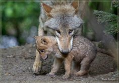 White Wolf : 15 Adorable Photos Of Mother Animals Carrying Their Young In Their Mouths
