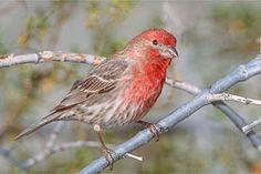 Sacramento Audubon Society - House Finch