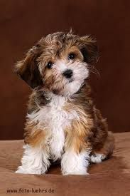 Image result for havanese teddy bear cut