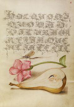 Mayfly, Red Campion, and Pear; Joris Hoefnagel (Flemish / Hungarian, 1542 - 1600), and Georg Bocskay (Hungarian, died 1575); Vienna, Austria; 1561 - 1562; illumination added 1591 - 1596; Watercolors, gold and silver paint, and ink on parchment; Leaf: 16.6 x 12.4 cm (6 9/16 x 4 7/8 in.); Ms. 20, fol. 2. High res image from the Getty Museum.