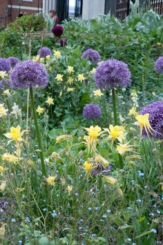 Allium and yellow aquilegia at the Inner Temple Gardens, London EC4