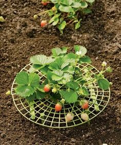 Strawberry Supports, Set of 6 #veggiegardens