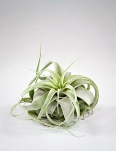 This Xerographica Air Plant is star shaped with bright green leaves. Stunning in a terrarium, we ship Tillandsia Xerographica with detailed care instructions.