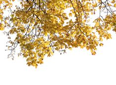 A cut out maple branch with yellow leaves Tree Render, Autocad, Tree Photoshop, Cut Out People, Plant Images, Architectural Section, Flower Bird, Yellow Leaves, Botanical Drawings