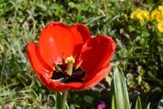 Tulppaanin hehkua | Vesan viherpiperryskuvat – puutarha kukkii