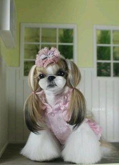 Joypia Shih Tzu. Korean hairstlye. #shihtzu