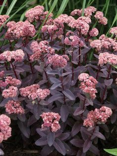 """by pagoda after peony  Sedum Purple Emperor Stonecrop, Hylotelephium         Type: Perennials Height: Short 12"""" (Plant 18-24"""" apart) Bloom Time: Late Summe..."""
