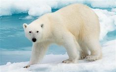 'Polar Bears' Expert Topic Example - ThingLink