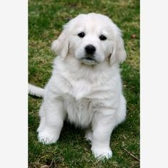 White Golden Retreiver Puppy