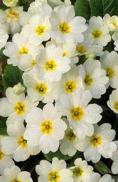 Primula vulgaris 'Early White' Fotografia de John Glover, uno de los primeros y de los mas importantes fotografos de jardin del Reino Unido
