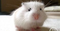 Just Pinned to Hamsters: fuzz ball http://ift.tt/2pCHaRY