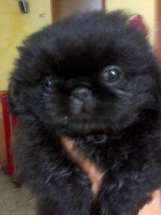 This is a black pekingese puppy! I find them so cute with they're big eyes. Pekingese Puppies For Sale, Pekingese Dogs, Puppies Puppies, Yorkies, Fu Dog, Dog Cat, Cool Pets, Cute Dogs, Color Of Night