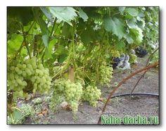 Grape Vine ~ QualQuest*********