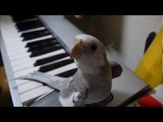 Cockatiel sings My Neighbor Totoro theme song