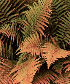 'Autumn Brilliance' Fern - This small fern provides three seasons of color! In spring, the fronds turn a bright russet orange and transform to green as the summer heat arrives, then back to orange in the fall. This fern is an adaptable plant that is cold-hardy, deer-resistant, disease-resistant and drought and heat-tolerant! 'Autumn Brilliance' is self-maintaining and grows happily under a shade tree, or anywhere with dry soil. - Grows to 24'' H - Spread: 24'' - Perennial - Bloom period…