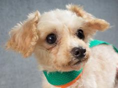 Adopt Peanut, a lovely 8 years Dog available for adoption at Petango.com.  Peanut is a Poodle, Toy and is available at the National Mill Dog Rescue in Colorado Springs, Co. www.milldogrescue... #adoptdontshop #puppymilldog #rescue #adoptyourfriendtoday