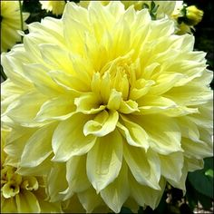 Nothing brings the cheer and happiness quite like the massive, fully double, bright yellow blossoms of Dahlia Kelvin Floodlight. Bulbs For Sale Now! Flowers Perennials, Planting Flowers, Easy To Grow Bulbs, Growing Dahlias, Bulbs For Sale, Bulb Flowers, Dahlia Flowers, Big Plants, Gardens