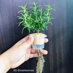 ROSEMARY – GROW THEM WELL – Growing Strawberries and Other Cool Stuff in Singapore Clover Oil, Propagation, Easy Herbs To Grow, Herb Garden, Garden Tips, Rosemary Plant, Planting Seeds, Strawberries, Singapore