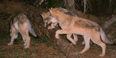 IMPORTANT PETITION: Washington State Announces Plan To Kill Entire Pack Of Wolves. STOP THE SLAUGHTER! > http://www.thepetitionsite.com/takeaction/714/065/993/