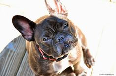 Life At Cobble Hill Farm: Oliver the French Bulldog