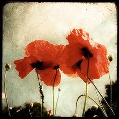Les Coquelicots - 8x8 Fine Art print - Nature Photography - Beige Red TTV - Say It With Flowers - Etsy Wall Art - TFTeam