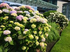 Hydrangeas are starting. Looks as if it will be a good year for blooming. Photo taken at the InterContinental. 6-16-2013