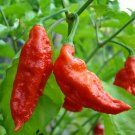 The hottest pepper in the world!? - Hot Ghost Pepper Red Bhut Jolokia Capsicum