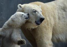 Un pequeño oso polar junto a su madre en el zoológico Hellabrunn de Munich, Alemania (Christof Stache, 2017)