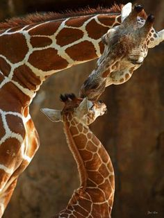 by Traci Law - baby giraffe gets a big kiss from Animals baby Animals Vida Animal, Mundo Animal, My Animal, Cute Baby Animals, Animals And Pets, Wild Animals, Beautiful Creatures, Animals Beautiful, Tier Fotos