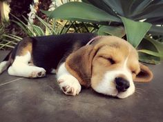 This little Beagle is looking like an angel as she naps, adorable! #cute #sweet #sleep