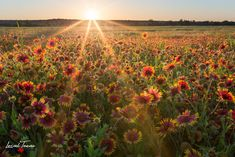 Sunset over a field of gaillardias in San Marcos, TX. Country Landscaping, Front Yard Landscaping, Landscaping Ideas, Hiking In Texas, Texas Travel, Texas Plants, Country Wall Art, Country Decor, Indian Paintbrush