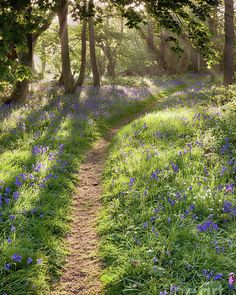Bluebell woodland path with dreamy sunrise Poster by Simon Bratt Photography LRPS. All posters are professionally printed, packaged, and shipped within 3 - 4 business days. Landscape Photography Tips, Nature Photography, Photography Editing, Scenic Photography, Underwater Photography, Abstract Photography, Artistic Photography, Photography Women, Lifestyle Photography