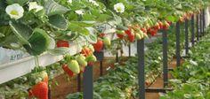 Az eper egy olyan gyümölcs amelyre minden ember türelmetlenül vár. Ez az ellenállhatatlan gyümölcs késő tavasszal jelenik meg a piacokon, fantasztikus az aromája és jótékony hatással van a szervezetünkre. Az epernek baktériumölő, gyulladásgátló, koleszterinszint csökkentő, lúgosító hatása ismeretes. Magas az ásványi anyag tartalma és kiváló antibiotikum. Az eper hazánk egész területén termeszthető, de leginkább fóliasátrakba...Olvasd tovább