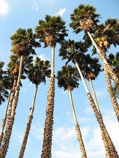 Washingtonia robusta plantada no Jardim Botânico do Condado de Los Angeles.